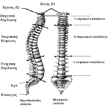 spine normal curves